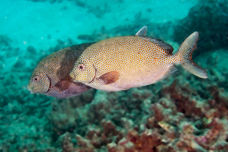 Dusky Rabbitfish 1.jpg