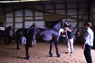 Percheron Brood Mare 4+