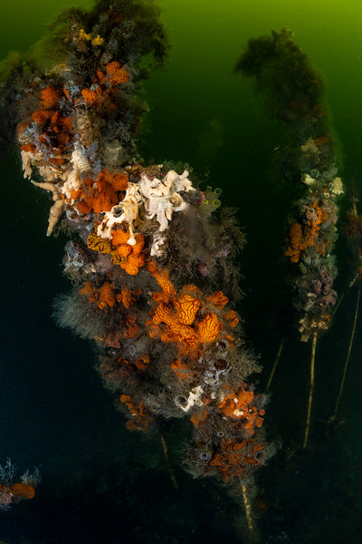 Can you imagine that all this colorful stuff is animal life?  Sponges, anemones and colonies of sea squirts cling to these willow branches for dear life. #Zeeland #underwaterphotography  #uwphotography #scuba #underwater #duiken #marinelife #diving #Nikon #Nauticam #Duikspotter #traveltips #onderwatersport   #underwaterphotographer