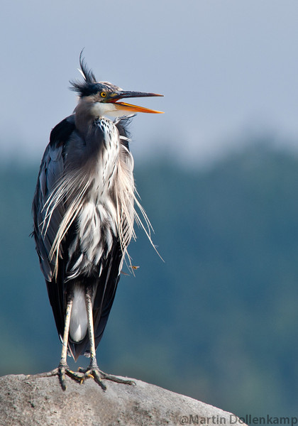 Great Blue Heron, Campbell River