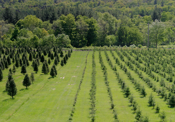 Evergreens at a Rural Christmas Tree Farm