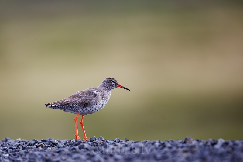 Common Redshank on the ground