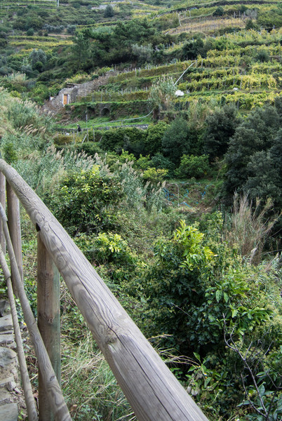 Olive groves on terraced hills