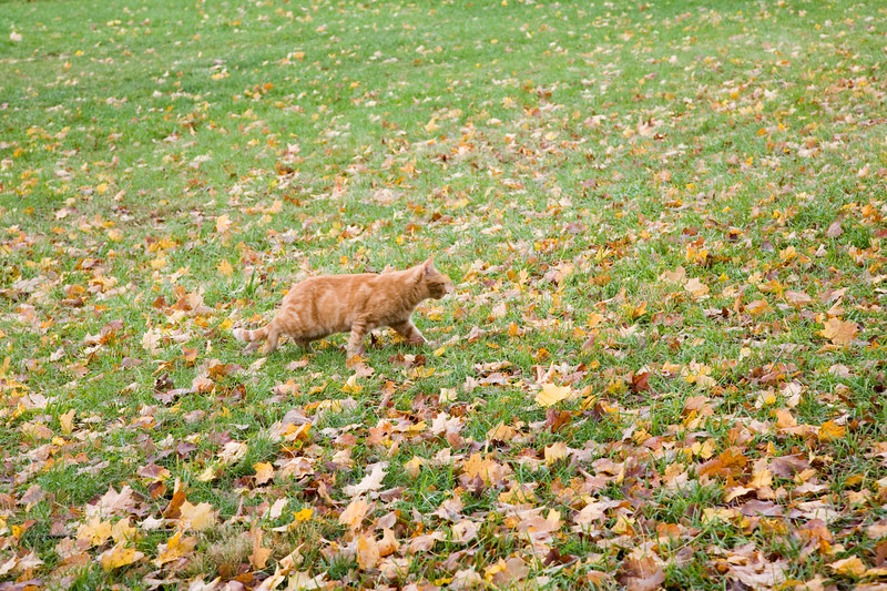 Brown cat on a meadow covered with maple leaves in the fall, Connecticut, USA