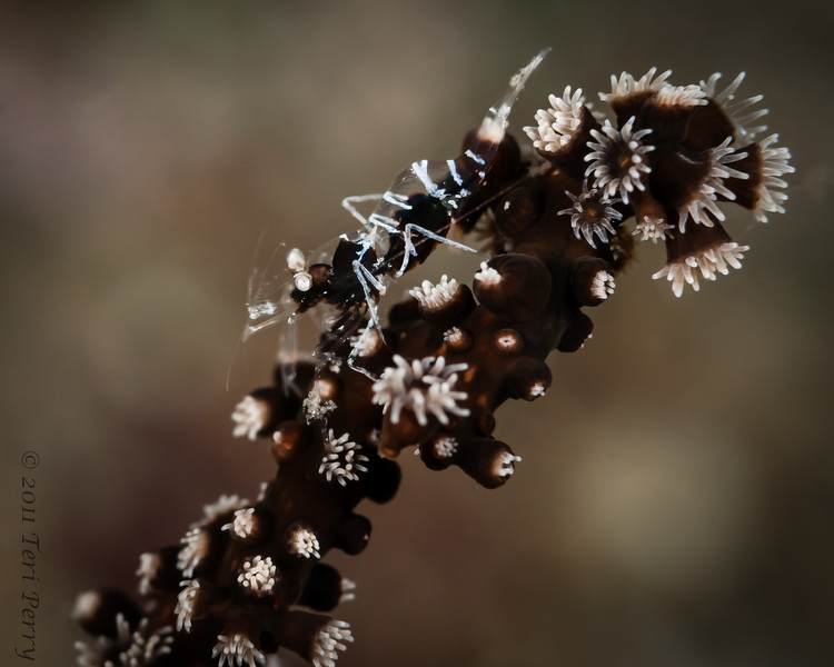 shrimp soft coral-6528.jpg