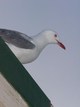 2015-01-05 Gulls