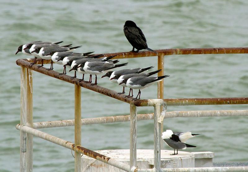 gulllineupwithcormorant.jpg