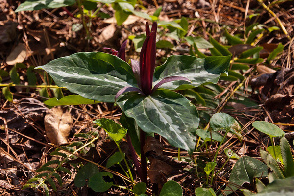 Trillium-Underwood's - (Trillium underwoodii) - Native Nurseries - Tallahassee, FL