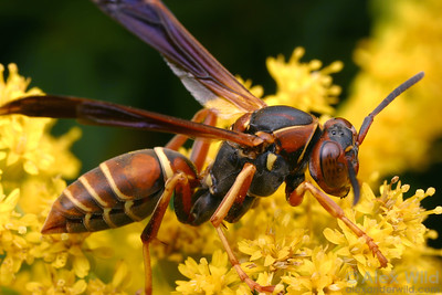 Polistes fuscatus - Paper Wasp. New York, USA.  filename: polistes1