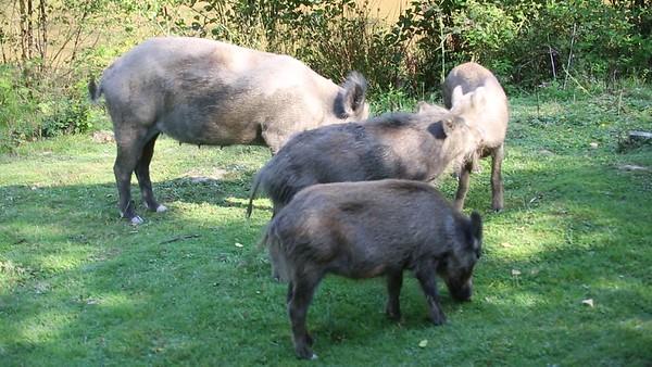 Wild Boar Videos
