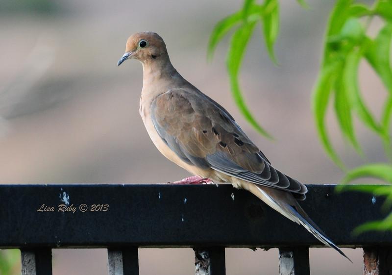 Mourning Dove - 8/30/2013 - Backyard, Sabre Springs