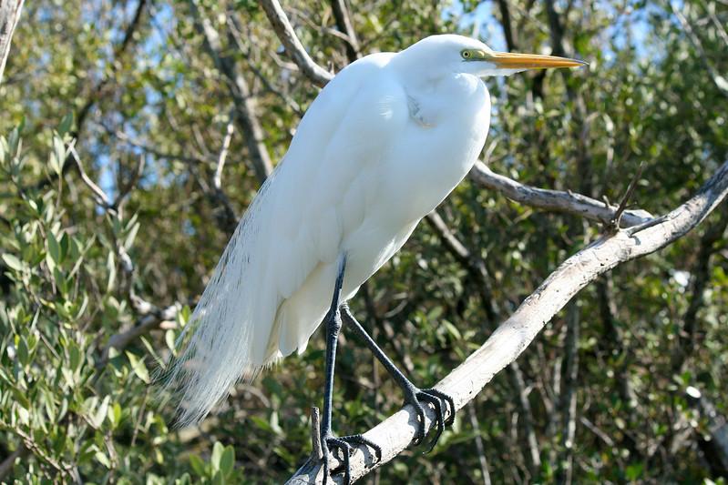 Great Egret, Florida Keys