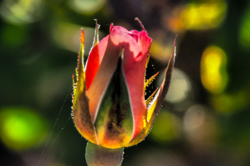 July 14 - Webbed bud.jpg