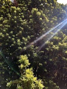 Yews of Bellingham