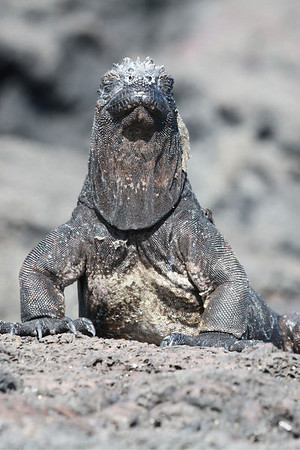 Galapagos Islands--Tortoises and iguanas