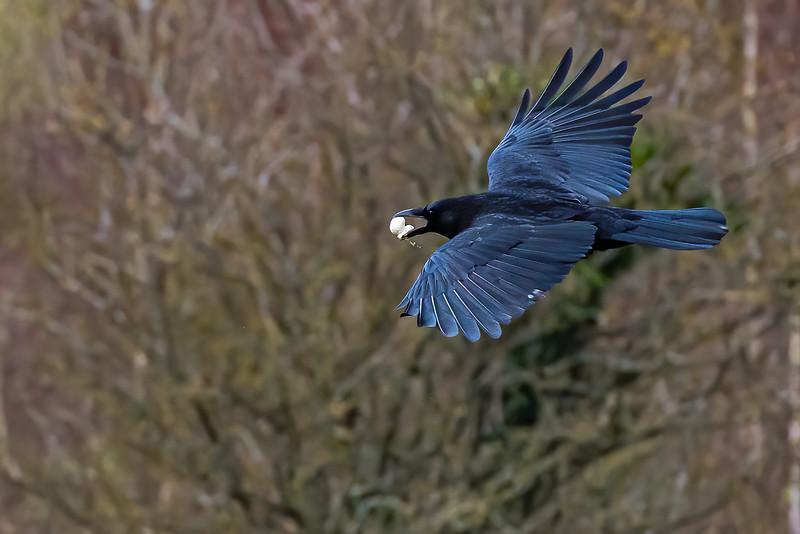 Crow gliding