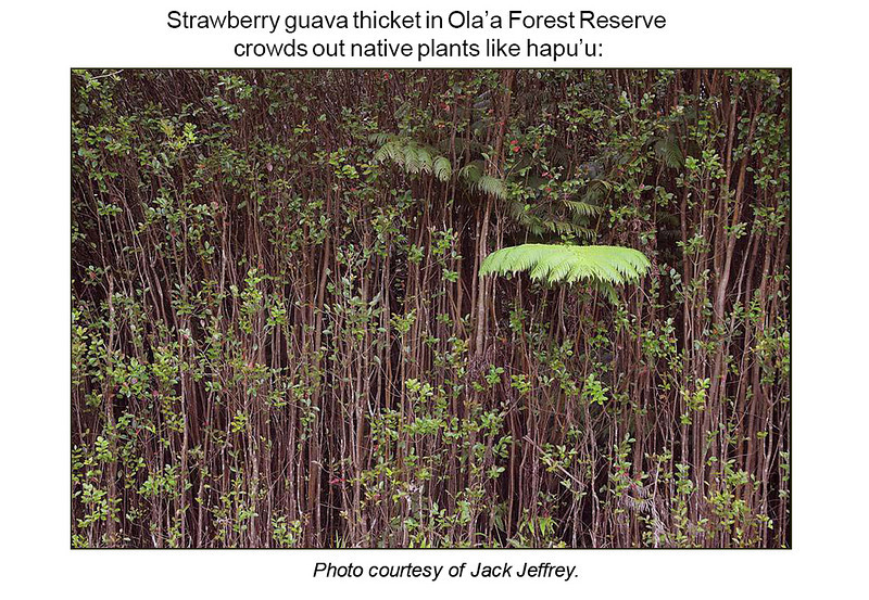 Strawberry guava thicket in Olaa Forest Reserve crowds out native plants like hapuu