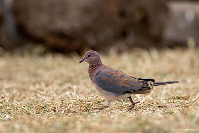 Palmedue (Laughing dove)