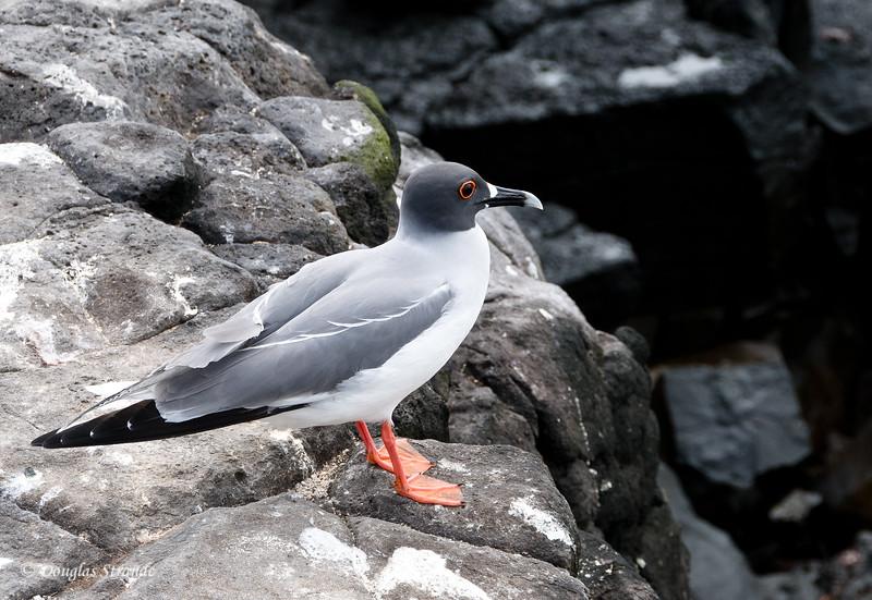 Swallowtail Gull on South Plaza Island