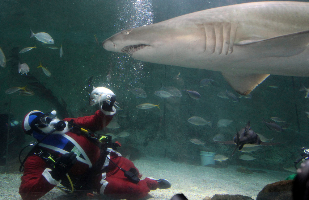 Description of . A diver dressed as Santa Claus feeds sharks at Manly Sea Life Sanctuary in Sydney, Australia, Friday, Dec. 14, 2012.(AP Photo/Rob Griffith)