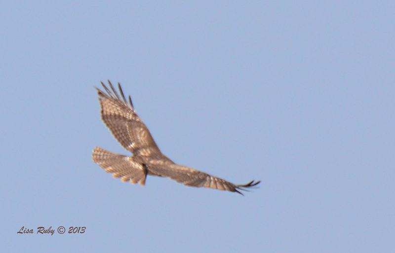 Top side of Light Morph Red-Tailed Hawk - Salt Works - 10/27/13