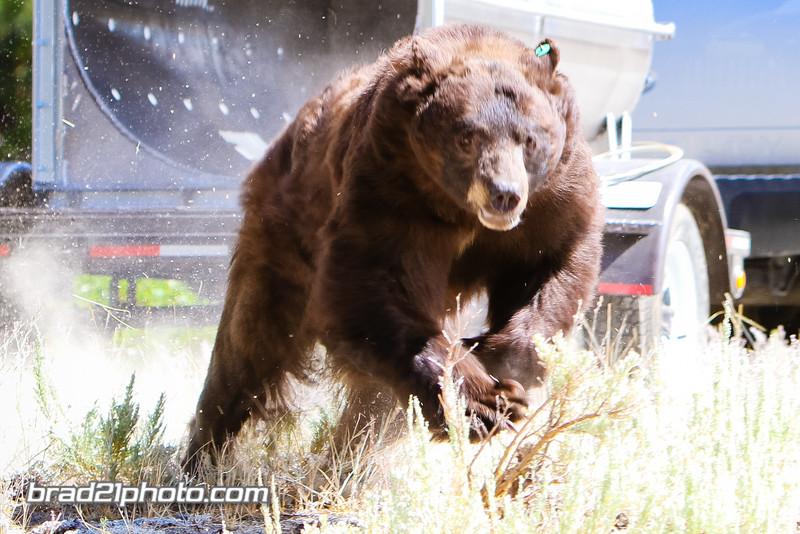 Bear Releases