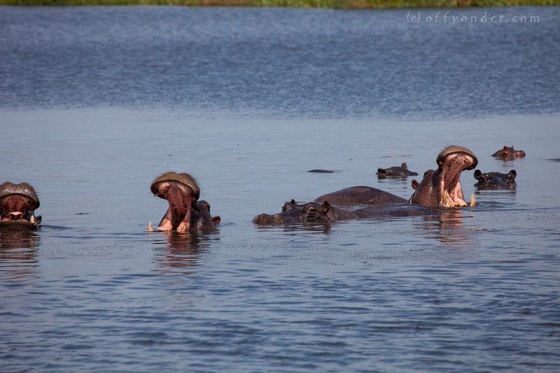 BWABWATA NATIONAL PARK, NAMIBIA - Hippos.