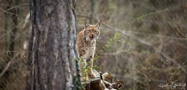 Reportage - Rewilding of the Lynx in Pfälzerwald