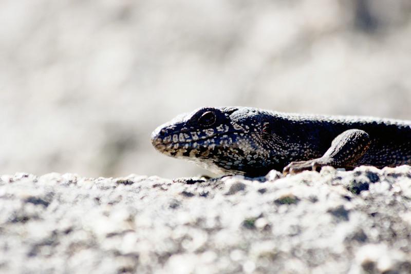 A lizard. Basking near The Back Wall.