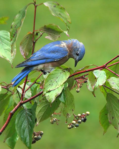 bluebird_fledgling_1560.jpg