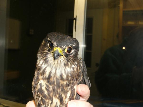 Merlin's Falcon Rescue