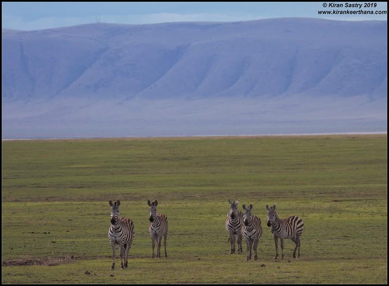 Zebra, Ngorongoro Crater, Ngorongoro Conservation Area, Tanzania, November 2019