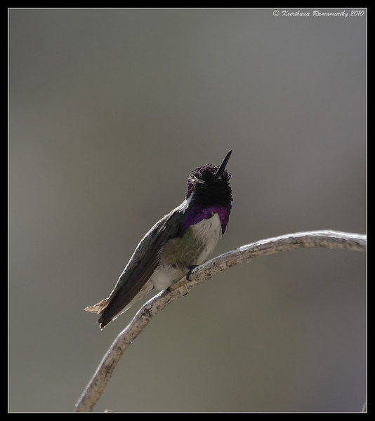 Costa's Hummingbird, Palm Canyon Trail, Anza Borrego Desert State Park, San Diego County, California, April 2010