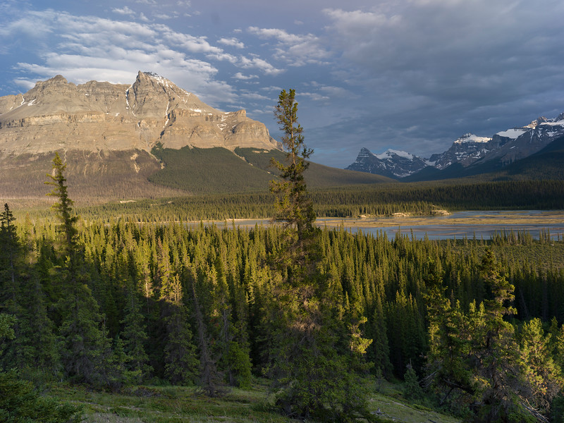 Pine trees with mountains in the background, Saskatchewan River Crossing, Icefields Parkway, Jasper, Alberta, Canada