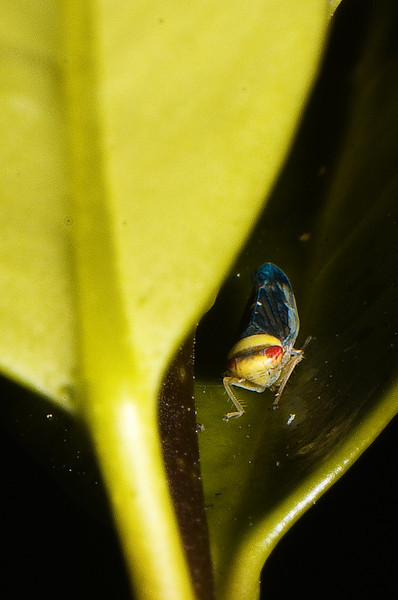 Leafhopper: head-on view, with red eyes on a yellow head.