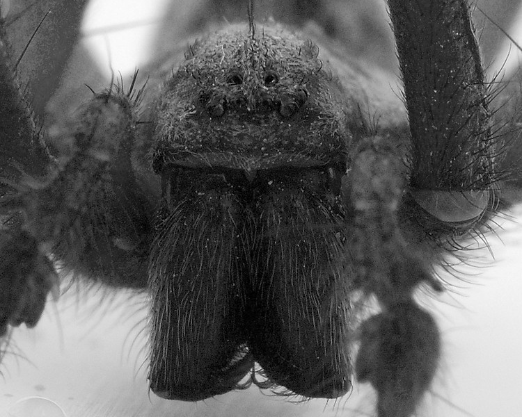 House spider closeup desatureated