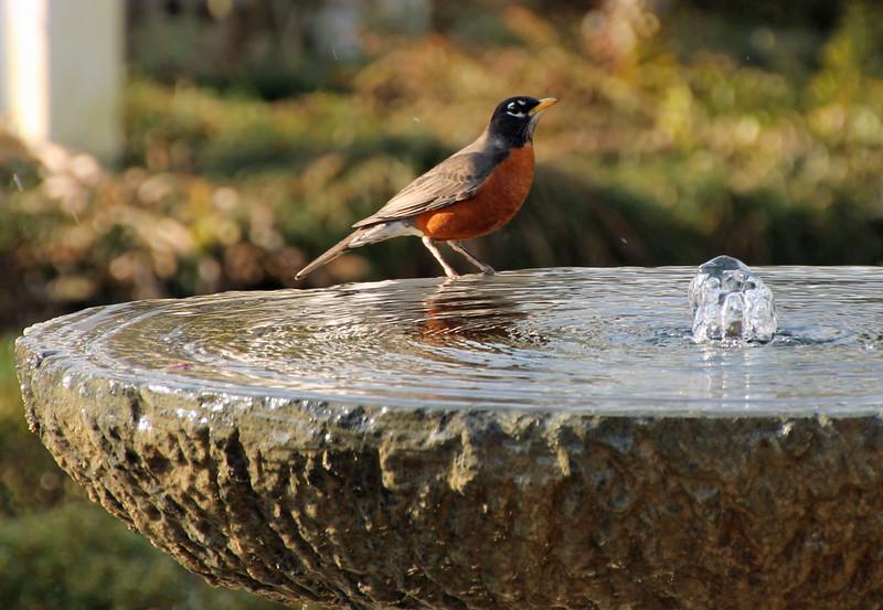 Robin in fountain