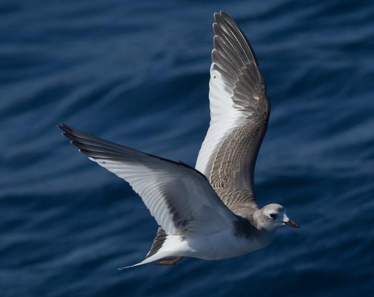 Sabine`s Gull San Diego Waters 2013 10 14-4.CR2