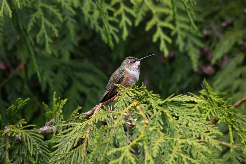 HUMMING BIRDS (3 of 104).jpg