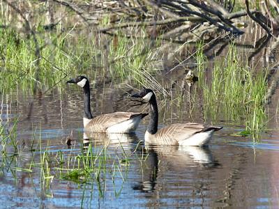 20130502 Canada Goose