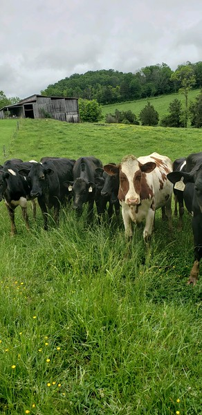 Tennessee cows