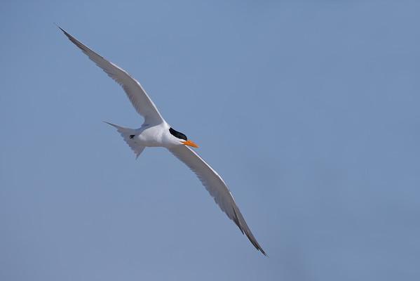 Tern, Royal