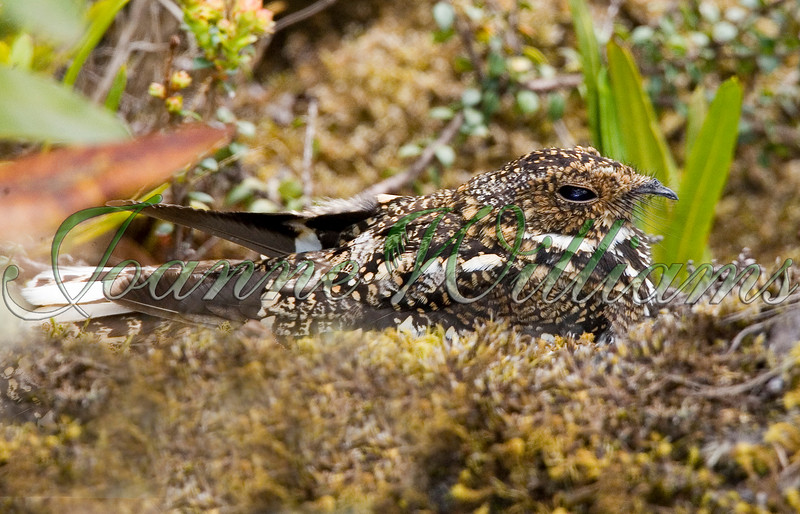 Band-winged Nightjar #1.jpg