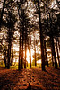 Forrest sunset   Zonsondergang in het bos