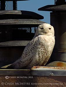 Snowy Owl on Tybee Island