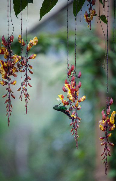 A hummingbird enjoys the flowers.