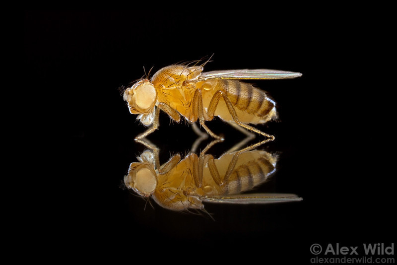 Drosophila melanogaster - white-eyed mutant
