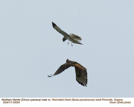 Northern Harrier M vs Red-tailed Hawk 34094.jpg
