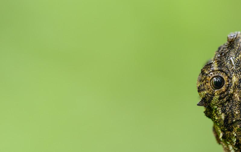 Draco-Agumbe-Southern-Flying-Lizard.jpg