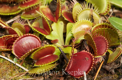 Droseraceae